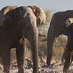 elefanten_in_namibia150